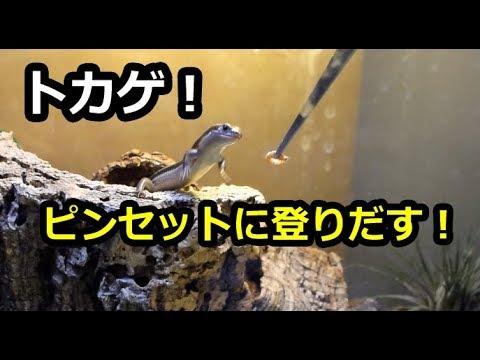 喜ぶトカゲ ピンセットに登る!?[Lizard]