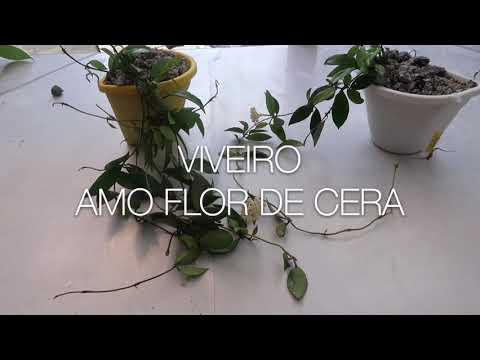 💚Mudas Hoya lacunosa💚