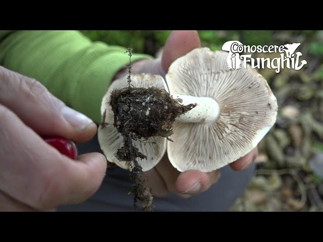 Conoscere i Funghi: Hebeloma Sinapizans [ NON COMMESTIBILE ]
