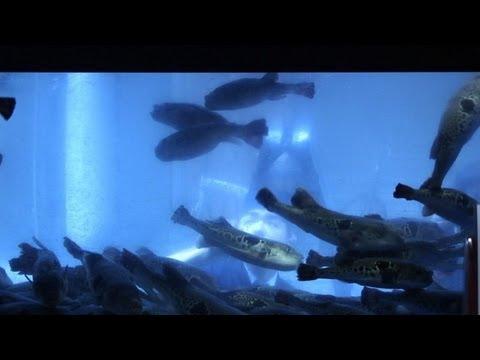Le fugu un plaisir mortel pour les gourmets japonais for Vente poisson aquarium