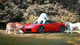 Ferrari Gets Attacked By Tigers Prank On Mom!
