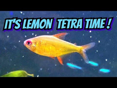 Orange Eye Lemon Tetras An Ideal Aquascaping Fish The Perfect Small Community Fish Youtube
