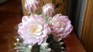 #514.Красивое цветение гимнокалициума
