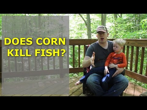 Does Corn Kill Fish? Is corn harmful to fish? Is corn a dangerous bait?