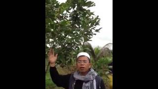 How to ferlitilize rambutan plant in maguing lanao del sur