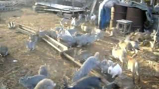 100 жырных кроликов 3