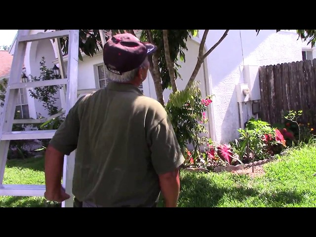 Quanh Nhà ở Mỹ MVI 1040: Hai Vai Nam Nay Ra Sao? Lychees | Cay An Trai