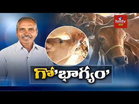 Desi Cows Farming | Success Story of Dairy Farmer Nagender Reddy | hmtv Agri