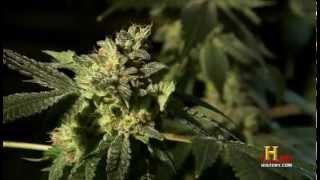 Marihuana - Droge oder Medizin
