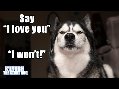 Husky Says I Love You PERFECTLY! But Argues About it!