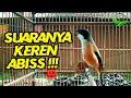 Bakalan Pentet Coba Pakai Pancingan Suara Cendet Ini Agar Cepat Bunyi Dan Gacor  Mp3 - Mp4 Download