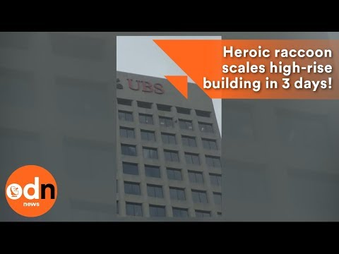 Heroic raccoon scales high-rise building in 3 days!