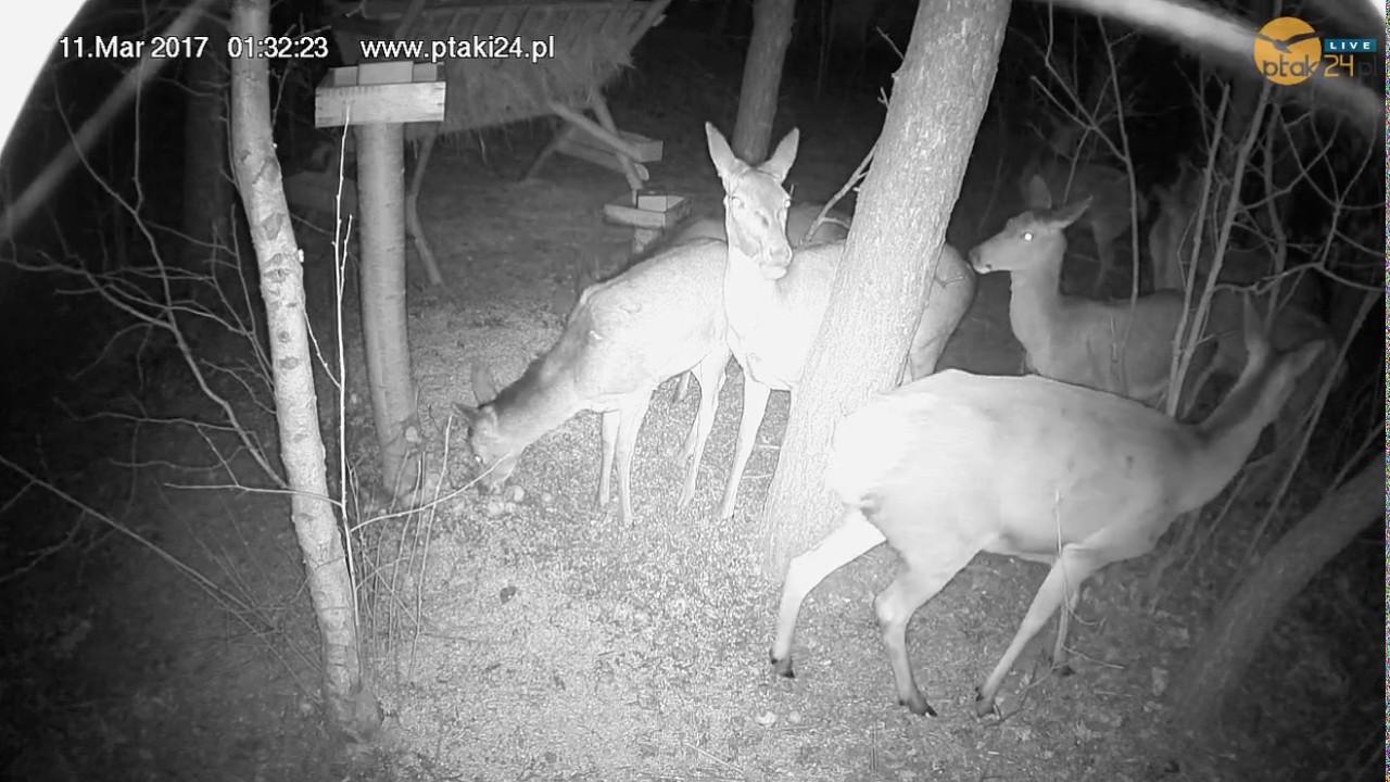 Osiem łań w karmisku dla dzikich zwierząt w lesie na Podkarpaciu