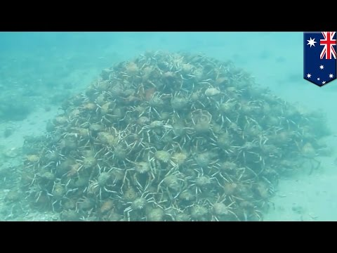 Une orgie de crabes forme la plus grande pyramide sous-marine