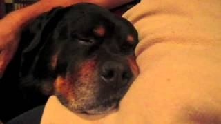 Cutest Rottweiler Snores Like Crazy On His Dads Lap