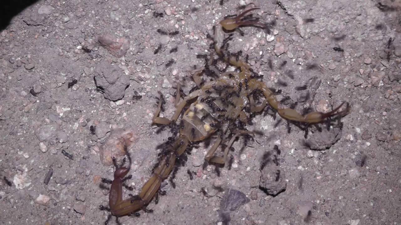 Scorpion Dies