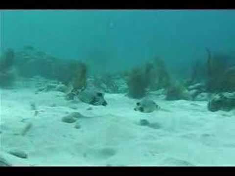 Smooth Trunkfish Interaction