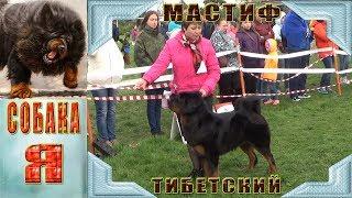 Тибетский Мастиф #1 Всероссийская выставка собак :  «Северная осень 2017»