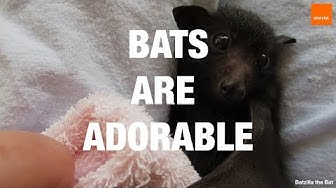 Bats Are Adorable - Compilation