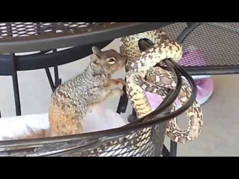 Ground Squirrel vs. Bull Snake - Gold Canyon, AZ