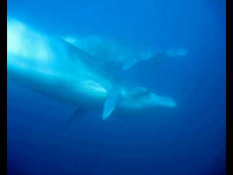 Bryde's Whales Say Hello