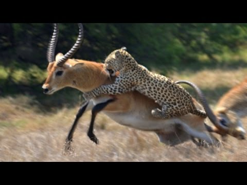Leopards  the Best Hunters Ever! the SERENGETI national park`s Wildlife Documentary 2016