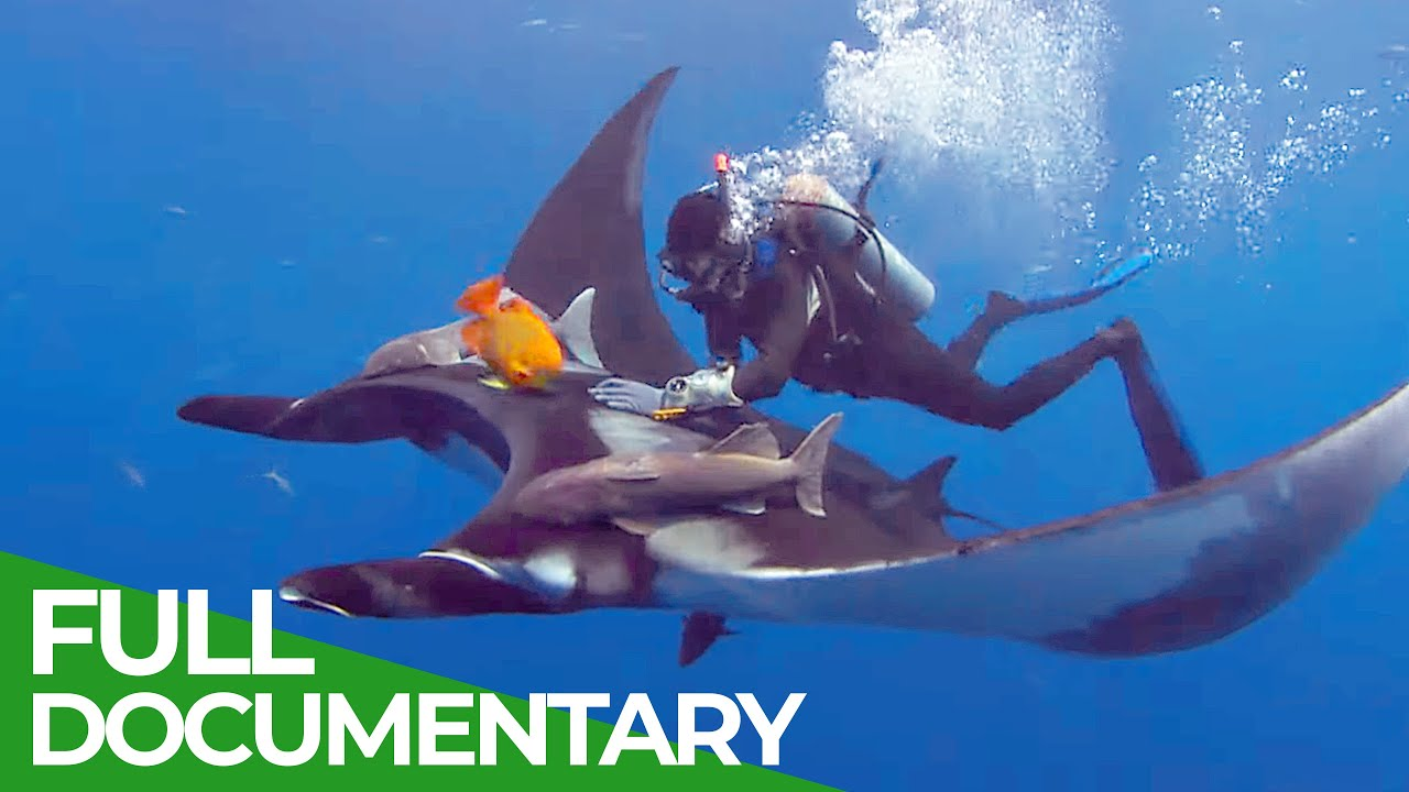 Giant Manta Rays of San Benedicto | Blue Realm | Free Documentary Nature