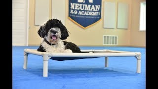Roger (Portuguese Water Dog) Boot Camp Dog Training Video Demonstration