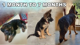 German Shepherd Puppy Growing from 30 Days to 7 Months | Long Coat GSD Puppy Transformation