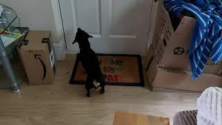 Humane Anti Bark Dog Collar  1st Time Used