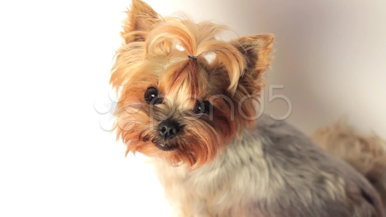 yorkshire terrier white yorkshire terrier on white stock footage youtube 8287