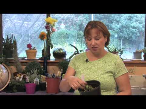 Flower Gardening Tips : How to Grow Creeping Lily Turf (Liriope Spicata)