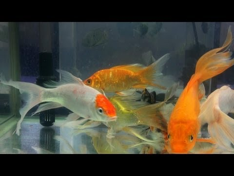 Veiltail Goldfish and Koi crap fish