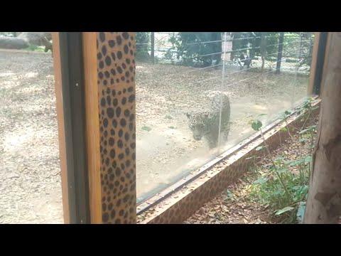 Live Tiger attack Delhi Zoo park
