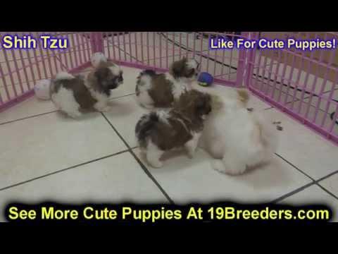 Shih Tzu, Puppies, For, Sale, in, Mobile, County, Alabama, AL, Huntsville, Morgan, Calhoun, Etowah,