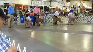 Weimaraners Bob Competition Myrtle Beach Kc Show 2014