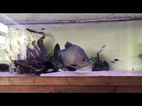 Big Black Piranha Feeding