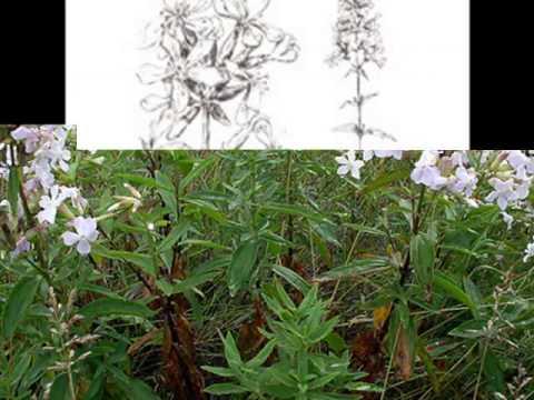 Мыльнянка (трава) – полезные свойства и применение
