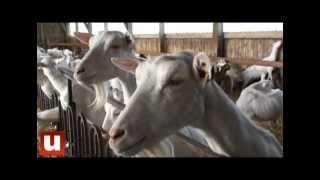 Les chèvres... de Monsieur Laluc