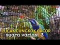 Cungkok Super Gacor Suara Variasi  Manggil Ngebren Itik  Mp3 - Mp4 Download