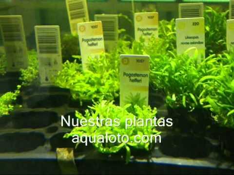 Plantas para acuarios de agua youtube for Peces de agua dulce para peceras