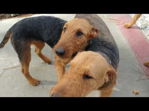 Mommy Casey After Haircut Wants Great Retirement Home Airedale Terrier Donation On November 18, 2018