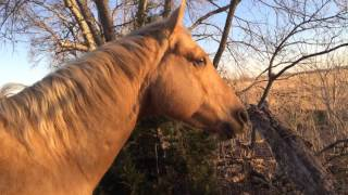 horse escapes poor fence mr t runs off for greener grass part 1 of 3