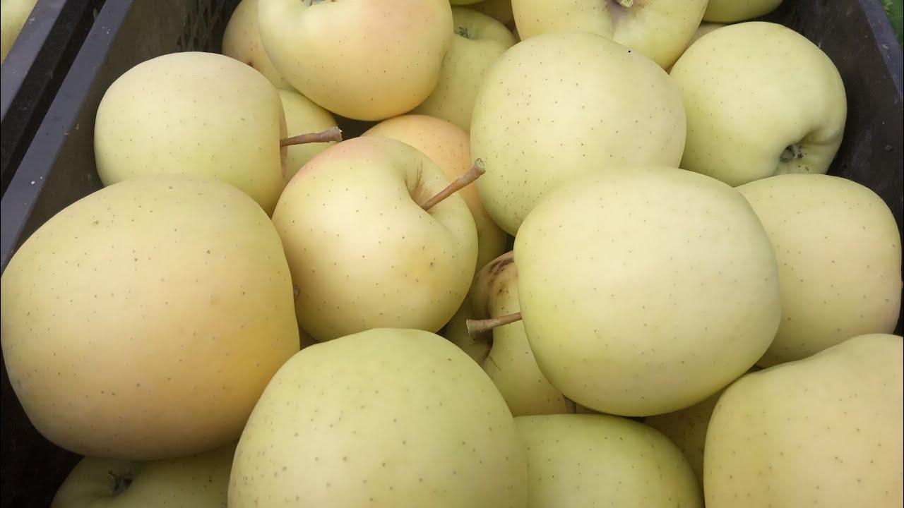 Один из лучших сортов яблок - Голден Делишес. Зимний сорт яблок, хорошо хранится!