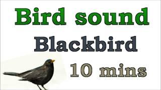 Bird sound #1 - Blackbird