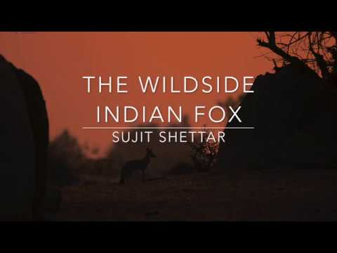 The Wildside   Indian Fox