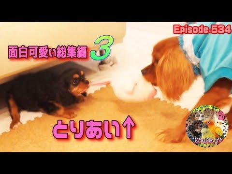 おもしろ可愛い犬動画・総集編3・キャバリア funny & cute dogs videos・Cavalier King Charles Spaniel