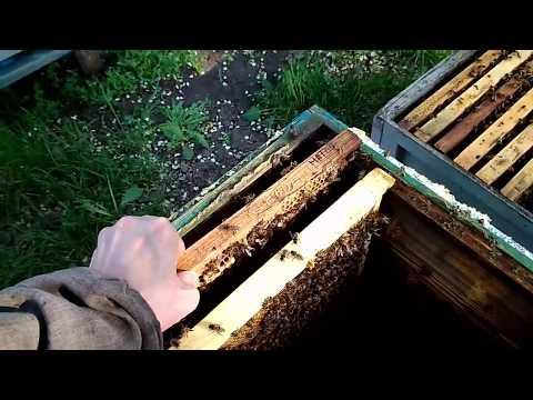 Пчеловодство с ноля - Расплод
