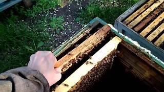 Пчеловодство с ноля | Расплод пчел
