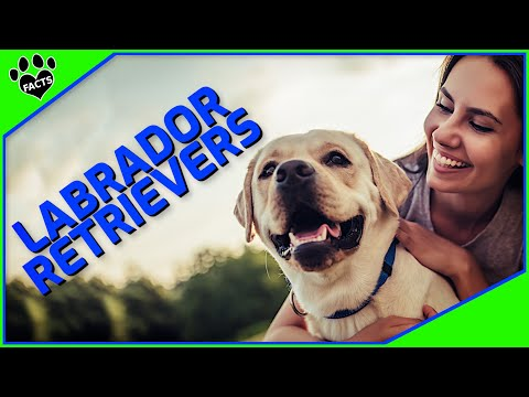 Labrador Retriever - World's Most Popular Dog